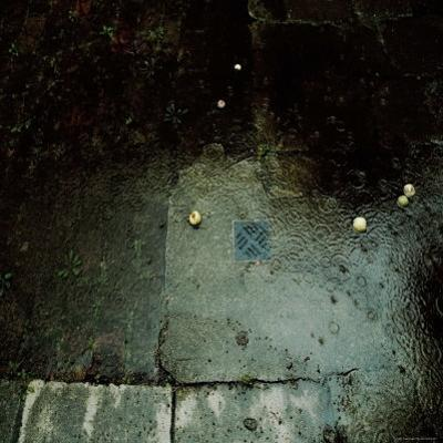 Fallen Apples in the Rain