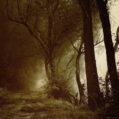 Foggy Path through Forest