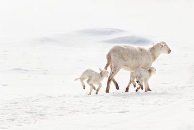 Ewe and Twin Lambs in Snow-Adeena Pentland-Photographic Print