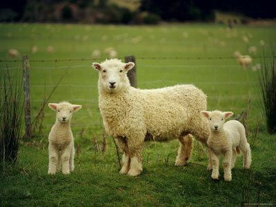 https://imgc.artprintimages.com/img/print/ewe-and-twin-lambs-on-sheep-farm-marlborough-south-island-new-zealand_u-l-p2h4cz0.jpg?artPerspective=n