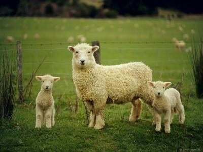 Ewe and Twin Lambs on Sheep Farm, Marlborough, South Island, New Zealand-Julia Thorne-Photographic Print