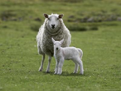 Ewe with Lamb, Scotland, United Kingdom, Europe-Ann & Steve Toon-Photographic Print