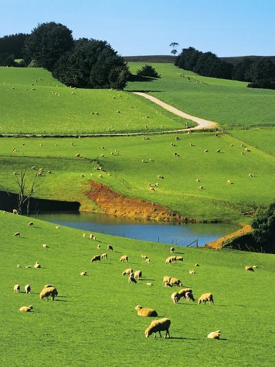 Ewes and Lambs Grazing at Thorpdale, Strzelecki Ranges, West Gippsland, Victoria, Australia-Peter Walton Photography-Photographic Print