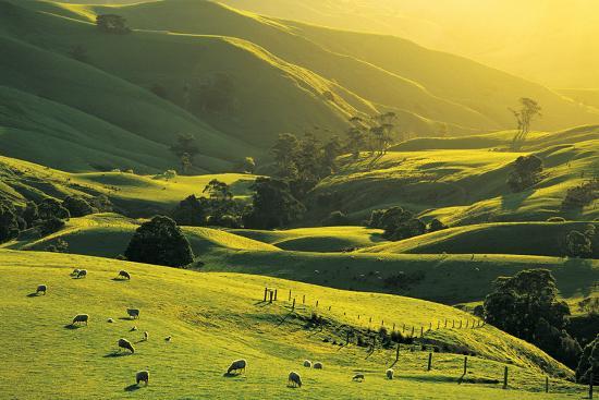 Ewes and Lambs Grazing at Trida, Strzelecki Ranges, South Gippsland, Victoria, Australia-Peter Walton Photography-Photographic Print