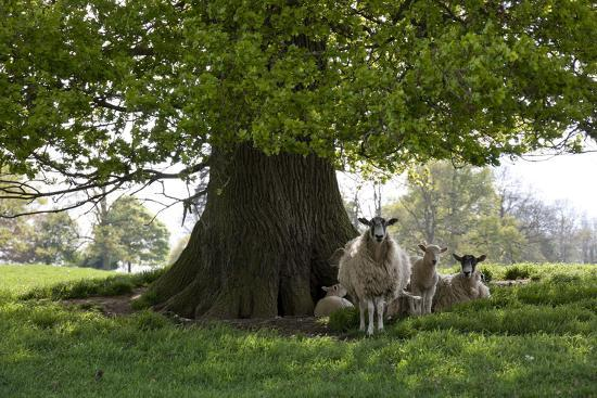 Ewes and Lambs under Shade of Oak Tree, Chipping Campden, Cotswolds, Gloucestershire, England-Stuart Black-Photographic Print