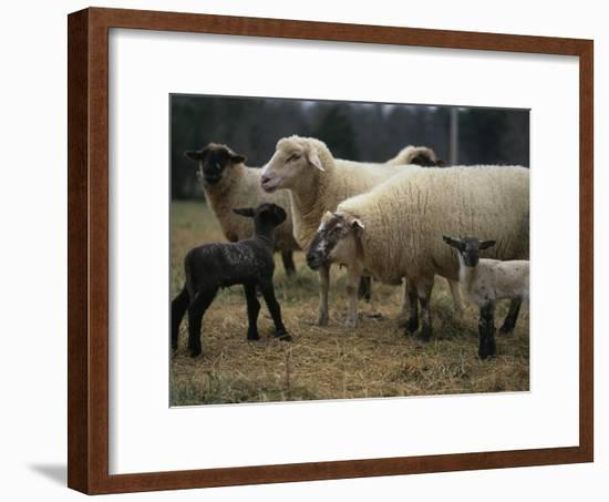 Ewes and Their Newborn Lambs-Stephen Alvarez-Framed Photographic Print