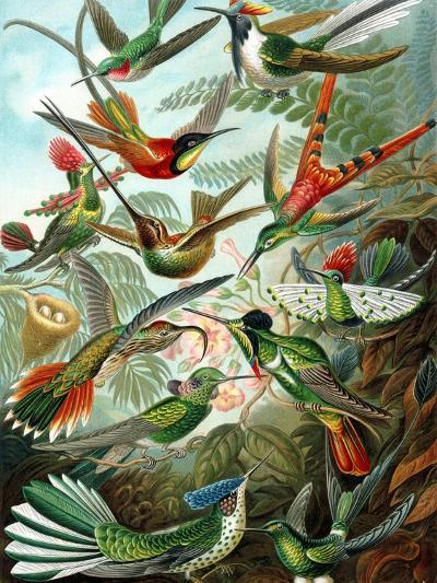 Example from the Family Trochilidae, 'Kunstformen Der Natur', 1899-Ernst Haeckel-Giclee Print