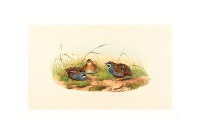 Excalftoria Minima (Blue-Breasted Quail), Colored Lithograph- Richter & Gould-Giclee Print