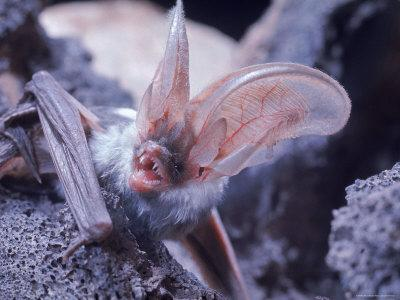 https://imgc.artprintimages.com/img/print/excellent-close-up-of-the-spotted-bat_u-l-p3lzcj0.jpg?p=0