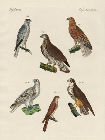 Excellent Hawks of Germany--Giclee Print