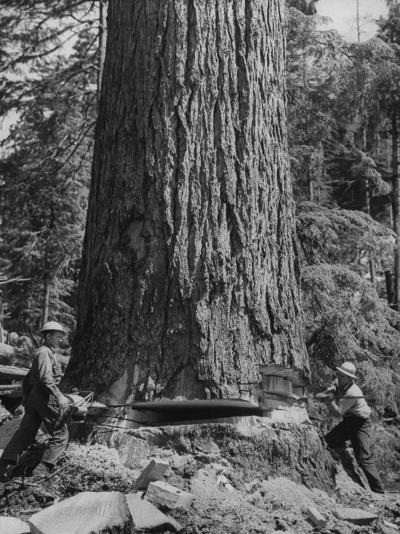 Excellent Set Showing Lumberjacks Working in the Forests, Sawing and Chopping Trees-J^ R^ Eyerman-Photographic Print
