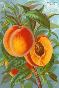 Excelsior Peach
