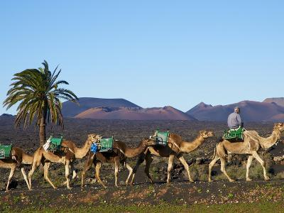 Excursion By Camel to Visit Volcano, National Park of Timanfaya, Lanzarote, Canary Islands, Spain--Photographic Print