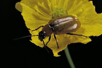 Exosoma Lusitanicum (Daffodil Leaf Beetle)-Paul Starosta-Photographic Print