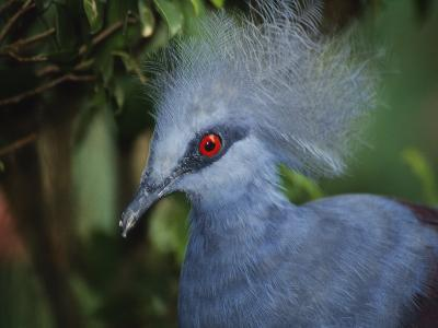 Exotic Blue Red-Eyed Bird, Kuala Lumpur Bird Park, Malaysia-Ellen Clark-Photographic Print