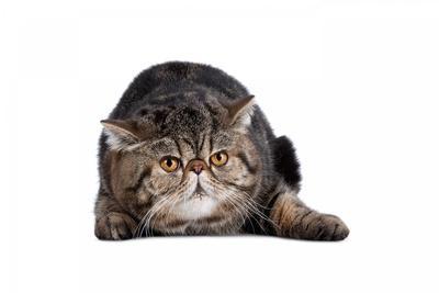 https://imgc.artprintimages.com/img/print/exotic-cat_u-l-pzs8wc0.jpg?p=0