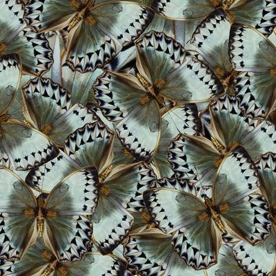 Exotic Grey and Pale Green Background Made of Cambodian Junglequeen Butterflies in the Greatest Des-Super Prin-Photographic Print