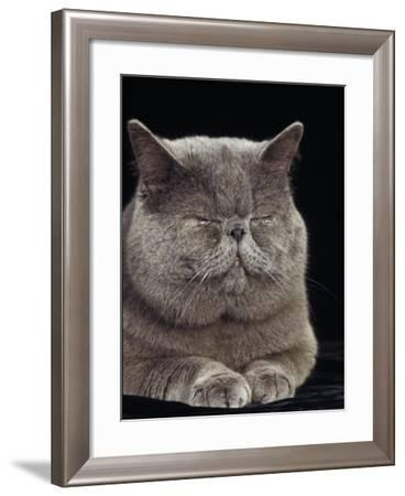 Exotic Grey Cat, Sleeping-Adriano Bacchella-Framed Photographic Print