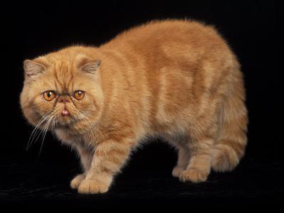 Exotic Red Cat, Portrait-Adriano Bacchella-Photographic Print