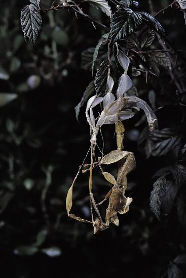 Extatosoma Tiaratum (Giant Prickly Stick Insect) - Emerging-Paul Starosta-Photographic Print