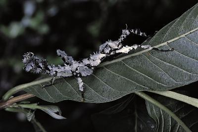 Extatosoma Tiaratum (Giant Prickly Stick Insect) - Particular Form-Paul Starosta-Photographic Print