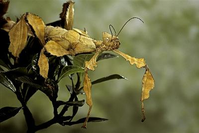 Extatosoma Tiaratum (Giant Prickly Stick Insect)-Paul Starosta-Photographic Print