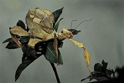 https://imgc.artprintimages.com/img/print/extatosoma-tiaratum-giant-prickly-stick-insect_u-l-pzqspa0.jpg?p=0