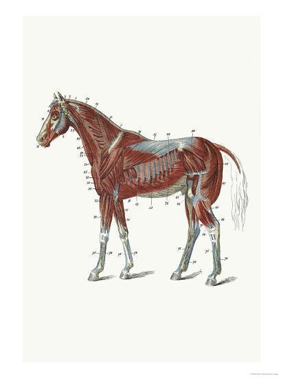 External Muscles And Tendons Of The Horse Art Print Samuel Sidney Art Com