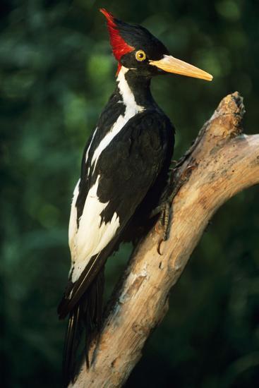 Extinct Bird Ivory-Billed Woodpecker (Mounted Specimen)--Photographic Print