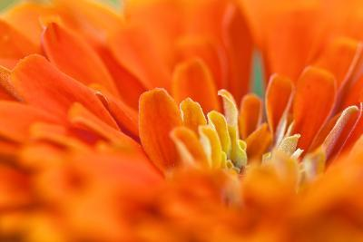 Extreme Close Up of An Orange Chrysanthemum Flower-Vickie Lewis-Photographic Print