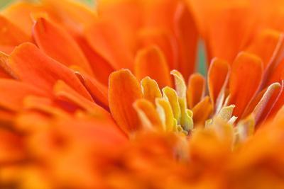 https://imgc.artprintimages.com/img/print/extreme-close-up-of-an-orange-chrysanthemum-flower_u-l-pinw2b0.jpg?p=0