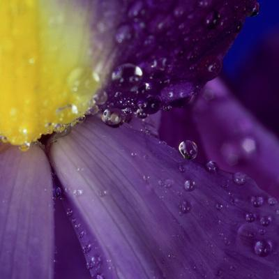 Extreme Close-up of Water Droplets on Blue Iris Flower-James Guilliam-Photographic Print