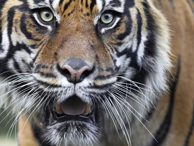 Extreme Closeup Portrait of a Male Sumatran Tiger.-Karine Aigner-Photographic Print