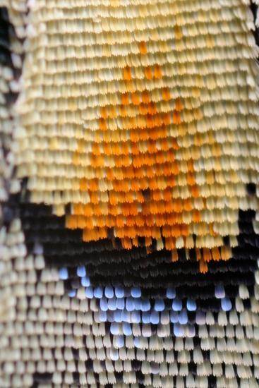 Extreme Macro of Swallowtail Butterfly Wing-D Kucharski K Kucharska-Photographic Print