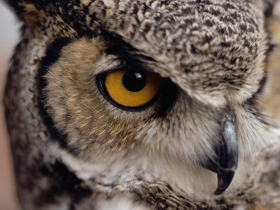 Eye of a Great Horned Owl-W^ Perry Conway-Photographic Print