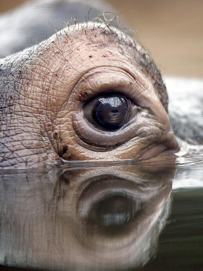 Eye of Hippo at Season Opening of Zoom Erlebniswelt Adventure Park in Gelsenkirchen, Germany--Photographic Print