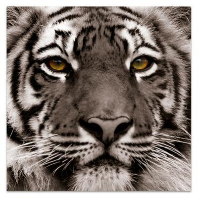 Eye of the Tiger - Free Floating Tempered Glass Panel Graphic Wall Art