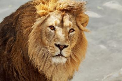 Eye to Eye Contact with a Young Asian Lion.-olga_gl-Photographic Print