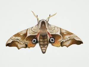 Eyed Hawk-Moth (Smerinthus Ocellata), Sphingidae. Artwork by Steve Roberts
