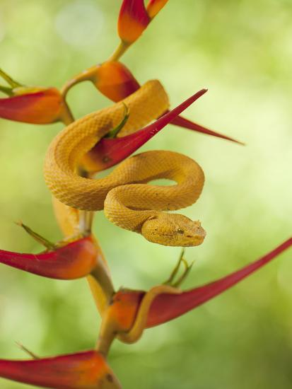 Eyelash Pit Viper (Bothriechis Schlegelii), Costa Rica-Gregory Basco-Photographic Print