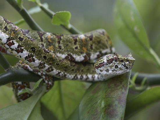 Eyelash Pit Viper Snake, Costa Rica-Tim Fitzharris-Photographic Print