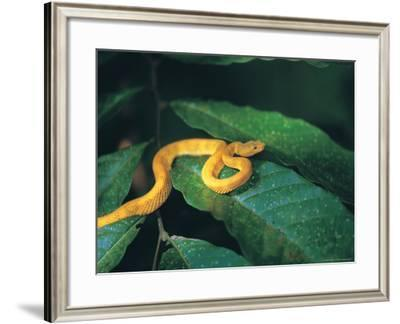 Eyelash Viper Snake-Timothy O'Keefe-Framed Photographic Print