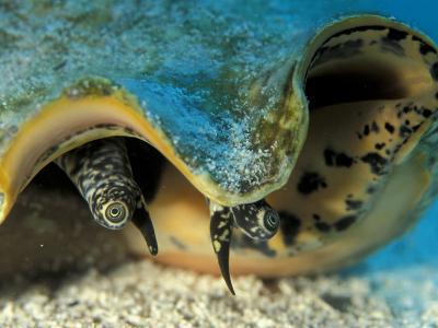 Eyes of Queen Conch, Caribbean (Strombus Gigas)-Jurgen Freund-Photographic Print