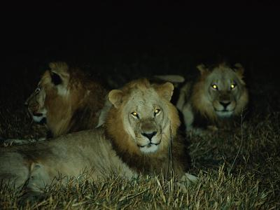 Eyes of Several African Lions Glow from a Strobe Flash in This Night View-Beverly Joubert-Photographic Print