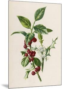 Holly by F. Edward Hulme