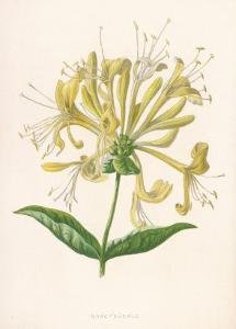 Honeysuckle by F. Edward Hulme