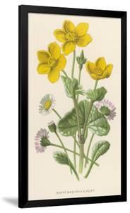 Marsh Marigold Depicted with Bellis Perennis, Common Daisy by F. Edward Hulme