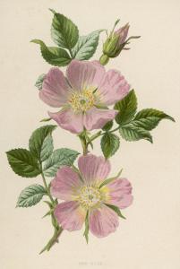 Pink Dog-Rose by F. Edward Hulme