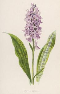 Spotted Orchis by F. Edward Hulme
