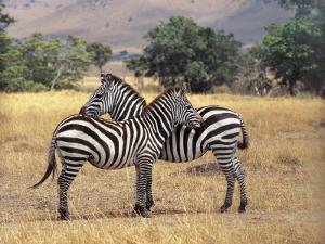 Two Grant's Zebras in the Forest, Masai Mara National Reserve, Kenya (Equus Quagga Boehmi) by F. Galardi